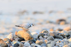 Piping Plover traversing rock stock photos