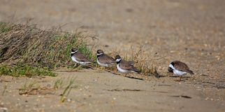 Piping Plovers on parade stock image