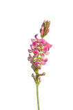 Pipirigallo (viciifolia del Onobrychis) imagenes de archivo