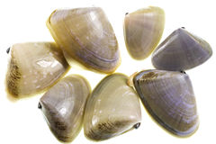 Pipis Clams Royalty Free Stock Images