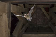 Flying pipistrelle bat in church tower. Pipistrelle bat (Pipistrellus pipistrellus) flying in church tower Royalty Free Stock Image