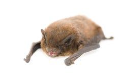 Pipistrelle comum imagens de stock