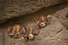 Pipistrelli che aderiscono ad una parete di pietra Immagini Stock Libere da Diritti