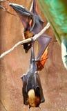 Pipistrelli che appendono intorno fotografia stock libera da diritti