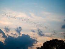 Pipistrelli che volano nel cielo, provincia di Phitsanulok, Tailandia Fotografia Stock