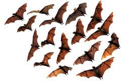Pipistrelli della frutta della volpe di volo nel cielo Fotografia Stock