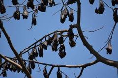 Pipistrelli della frutta di Filippine Immagine Stock