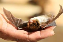 Pipistrelli di risparmio Immagini Stock Libere da Diritti