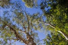 Pipistrelli neri che appendono sottosopra negli alberi nel parco nazionale di Karijini, Australia occidentale fotografia stock