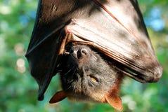 Pipistrello Immagine Stock Libera da Diritti