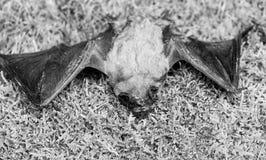 Pipistrello brutto Manichino del pipistrello selvaggio su erba Natura selvaggia Forelimbs adattati come ali Mammiferi naturalment immagini stock