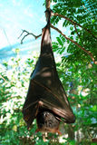 Pipistrello chiuso i suoi occhi Immagine Stock
