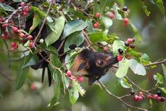 Pipistrello dagli occhiali di Fox di volo che mangia i fichi fotografie stock libere da diritti