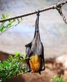 Pipistrello della frutta Fotografia Stock