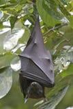 Pipistrello della frutta Fotografie Stock Libere da Diritti