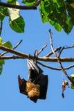 Pipistrello della frutta che appende su un albero Fotografia Stock