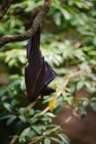Pipistrello della frutta che pende da un ramo di albero Immagini Stock
