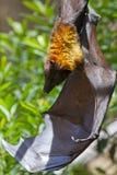 Pipistrello della frutta gigante Fotografie Stock Libere da Diritti