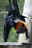 Pipistrello della frutta - volo-volpe Immagini Stock Libere da Diritti