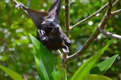 Pipistrello della frutta, volpe di volo, appendente sottosopra fra le foglie verdi su un albero, lo Sri Lanka Immagine Stock