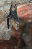 Pipistrello di Brown, vista da una parte anteriore. Fotografia Stock
