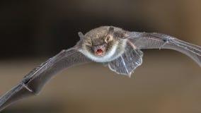Pipistrello di Natterers in volo fotografia stock libera da diritti