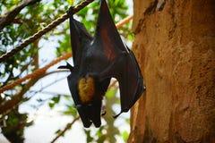 Pipistrello di sonno fotografia stock