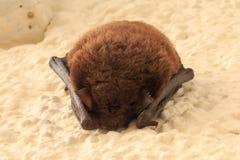 Pipistrello di sonno sulla parete della casa fotografia stock libera da diritti