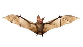 Pipistrello di vampiro di volo isolato su fondo bianco