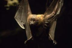 Pipistrello di volo Fotografia Stock