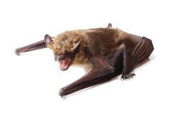 Pipistrello isolato su bianco Fotografia Stock Libera da Diritti