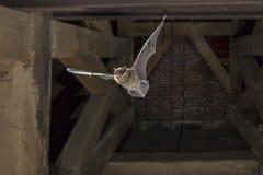 Pipistrello nano di volo nella torre di chiesa immagine stock libera da diritti