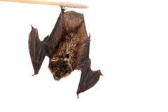 Pipistrello nordico su bianco Fotografie Stock Libere da Diritti