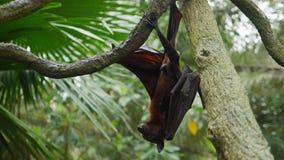 Pipistrello/pipistrello della frutta mega/volpe di volo indiana Fotografia Stock Libera da Diritti