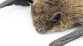 Pipistrello su bianco Fotografia Stock