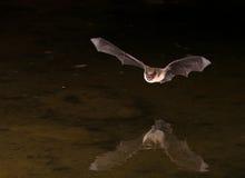 Pipistrello in volo Fotografie Stock