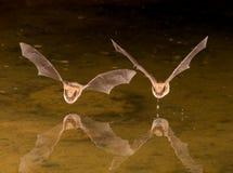 Pipistrello in volo fotografia stock