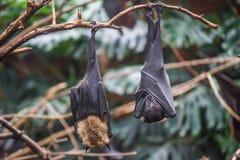 Pipistrello in zoo in Argentina immagini stock libere da diritti