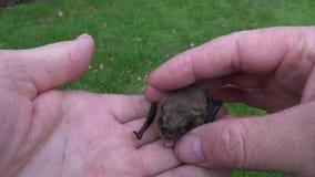 Pipistrellus nathusii bat in human naturalist hands. Mammal Pipistrellus nathusii bat in human naturalist hands stock video footage