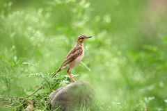 pipit photographie stock