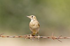 Pipit Royalty Free Stock Photo