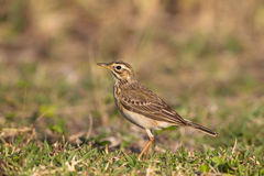 Pipit africain Images stock