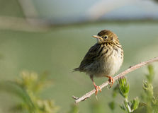 Pipit Farlouse Stock Photos