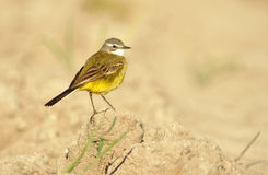 Pipit royalty free stock photography