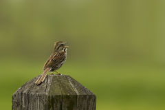 Pipit sings during summer stock photography