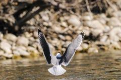 富兰克林的鸥(pipixcan的Leucophaeus) 库存照片