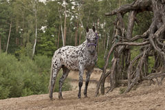 Pippys horse. A horse with dots in the sand near a three Stock Photography