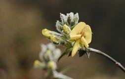Piptanthus nepalensis (unverwüstlicher Laburnum) in Nordsikkim, Indien Lizenzfreie Stockfotografie