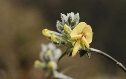 Piptanthus nepalensis (vintergrön laburnum) i norr Sikkim, Indien Royaltyfri Fotografi