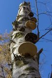 Piptoporus betulinus Birch Polypore on a dead silver birch tree with blue sky as background. Low perspective. Royalty Free Stock Photography